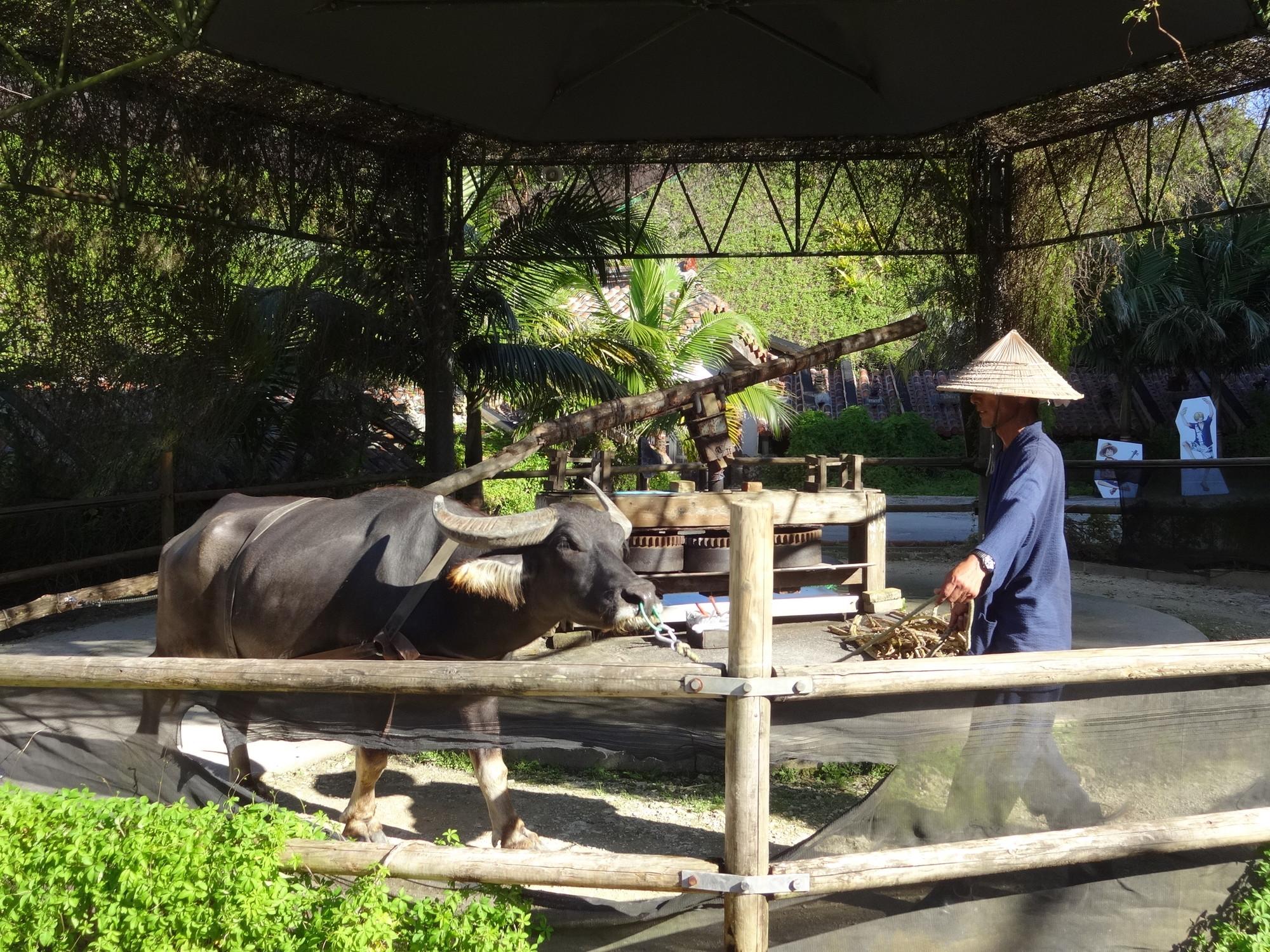 昔の製糖機を引く水牛