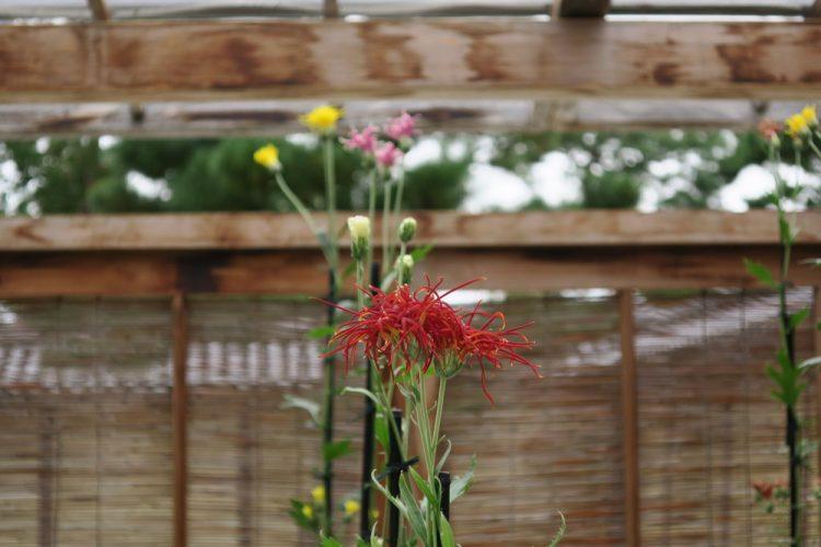 嵯峨菊の花