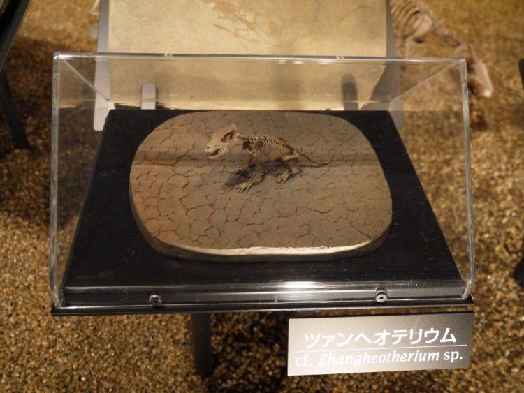 ツアンヘオテリウムの骨格標本