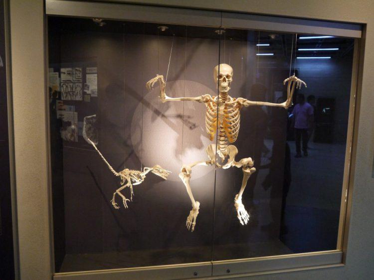人間とバンビラプトルの骨格標本