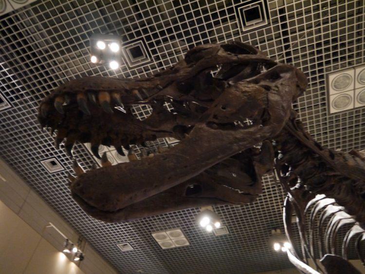 ティラノサウルスの頭蓋骨