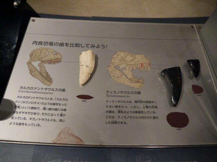 カルカロドントサウルスとティラノサウルスの歯の比較