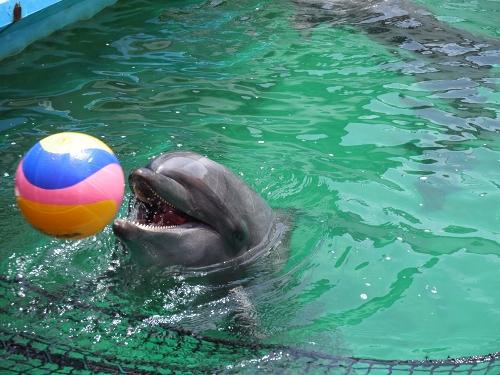 イルカ ボール遊び